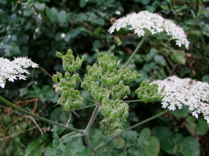 green hogweed seeds with flowers behind